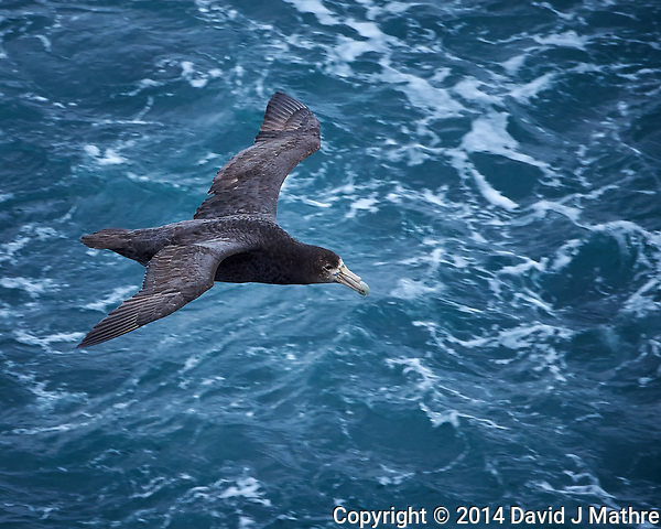 Southern Giant Petrel. Viewed from the deck of the MS Fram in the South Atlantic between Ushuaia and the Falkland Islands. Image taken with a Nikon Df camera and 80-400 mm VRII lens (ISO 4000, 400 mm, f/5.6, 1/1000 sec). Raw image processed with Capture One Pro 8 and Photoshop CC 2014. (David J Mathre)
