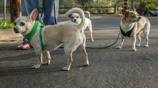 "Chef Danny Bobovnyik walks his three Chihuahuas: Sophie, Coco and Figaro on North Oak Street in Calistoga ""Two of these are rescues...and one is a princess."" (Clark James Mishler)"