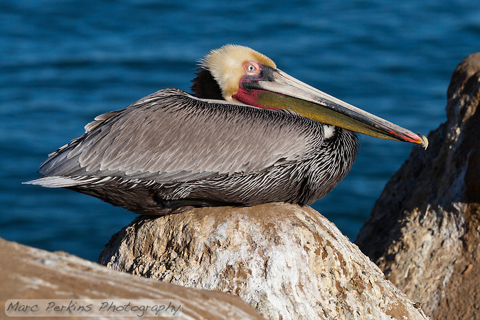 This California brown pelican (Pelecanus occidentalis californicus) is photographed sitting on a peaked rock in front of the ocean. The third eyelid of the pelican (palpebra tertia or nictitating membrane) is in the middle of a blink, half-covering the eye. (Marc C. Perkins)