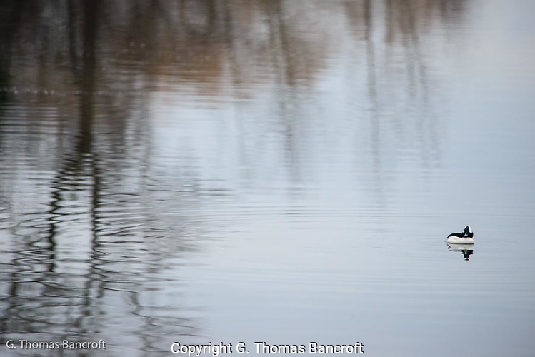 The male bufflehead was feeding actively just off shore.  It would dive for 15 or 20 seconds before surfacing for a few seconds.  The male gradually moved along the edge of the tree reflections and the pattern was intriquing. (G. Thomas Bancroft)