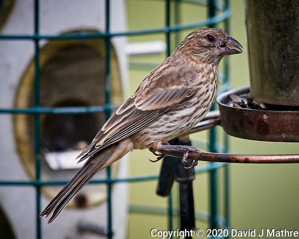 LBJ (not sure if it is a female/immature House Finch or female/immature Brown-headed Cowbird). Image taken with a Nikon D5 camera and 600 mm f/4 VR lens (ISO 450, 600 mm, f/5.6, 1/1250 sec) (DAVID J MATHRE)