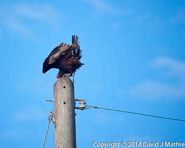 Turkey Vulture on a Power Pole Holding on During a Wind Gust. Bio Lab Road in Merritt Island National Wildlife Refuge. Image taken with a Nikon D3s and 80-400 mm VRII lens (ISO 200, 400 mm, f/5.6, 1/640 sec). (David J Mathre)