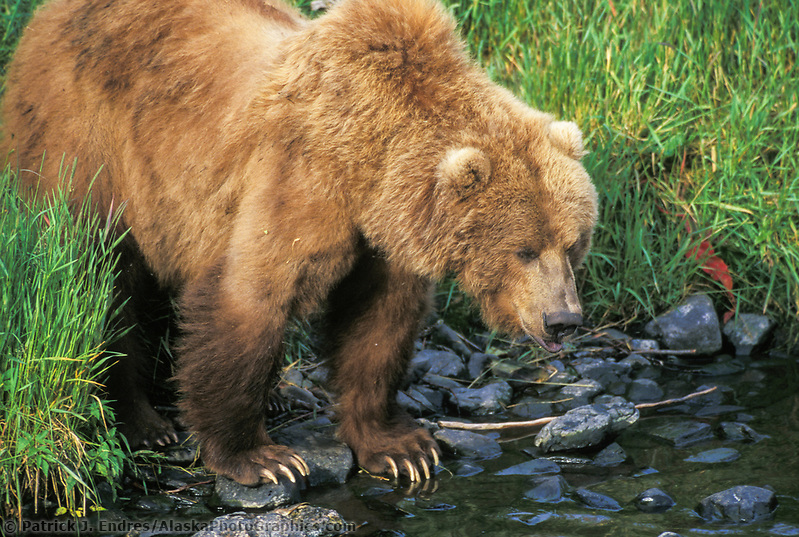 Female Kodiak brown bear fishes along stream edge, Kodiak, Alaska (Patrick J. Endres / AlaskaPhotoGraphics.com)