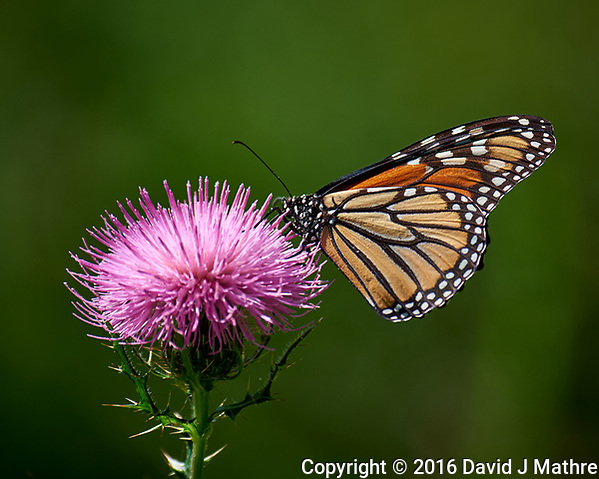 Monarch Butterfly on a Thistle Bloom. Image taken with a Nikon D810a camera and 80-400 mm VRII lens (ISO 200, 400 mm, f/5.6, 1/1250 sec). (David J Mathre)