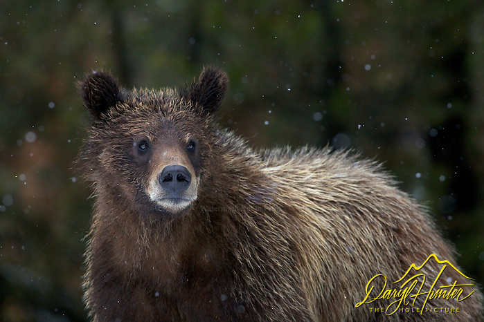 "Two year old Grizzly cub in Grand Teton National Park, a few flakes of snow quells the promise of spring. (© Daryl Hunter's ""The Hole Picture""/Daryl L. Hunter)"