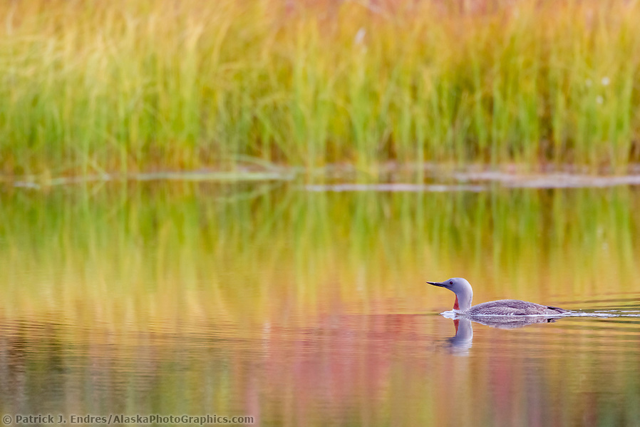 Loon photos: Red-throated loon swims in a tundra pond surrounded by colorful autumn colors reflecting in the water, Denali National Park, Alaska. (Patrick J. Endres / AlaskaPhotoGraphics.com)