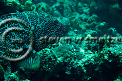 Tiger Grouper, Mycteroperca tigris, Pictures of fish, Grand Cayman (Steven Smeltzer)