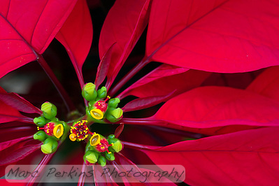 A closeup of a poinsettia flower cluster from directly above it. Many people confuse the bracts (red leaves) with the petals of flowers; they're quite different.   This macro shot shows a number of bracts (colored leaves associated with a flower) surrounding the flowers (green, red, and yellow structures) and extending out of the frame.  The flowers themselves are called cyanthia; the green tissue surrounding each flower is an involucre, a cluster of bracts (leaves) fused into a cup-shaped structure that contains multiple male flowers and one female flower within it.  Emerging from the involucre you can see red filaments supporting yellow anthers on the male flowers; a single female flower should be emerging from the center of each flower.  The bright yellow, liquid-filled structures attached to the involucre are nectar glands filled with yummy sweet nectar to attract pollinators; on less-developed flowers they look like little light-green lips. (Marc C. Perkins)