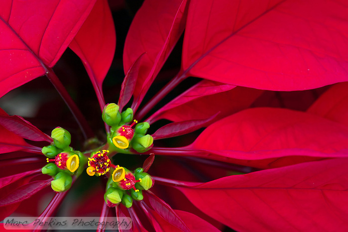 A closeup of a poinsettia flower cluster from directly above it. Many people confuse the bracts (red leaves) with the petals of flowers; they're quite different.   This macro shot shows a number of bracts (colored leaves associated with a flower) surrounding the flowers (green, red, and yellow structures) and extending out of the frame.  The inflorescences are called cyanthia; the green tissue surrounding each one is an involucre, a cluster of bracts (leaves) fused into a cup-shaped structure that contains multiple male flowers and one female flower within it.  Emerging from the involucre you can see red filaments supporting yellow anthers on the male flowers; a single female flower should be emerging from the center of each flower.  The bright yellow, liquid-filled structures attached to the involucre are nectar glands filled with yummy sweet nectar to attract pollinators; on less-developed flowers they look like little light-green lips. (Marc C. Perkins)