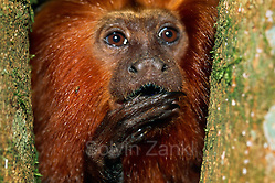 Golden Lion Tamarins have long claws on all digits, except for the first digit of the hind limbs, helping them in safely climbing through the canopy of the rainforest. | Lwenffchen haben lange Krallen an allen Fingern und Zehen, mit Ausnahme des ersten Zehs der Hinterextremitten. Diese Krallen ermglichen das sichere Klettern an sten und Stmmen der Urwaldbume. (Solvin Zankl)