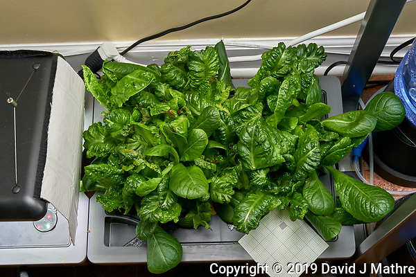 AeroGarden Farm 02 Right Tray at 38 days. R01-R09 Romain; Image taken with a Leica TL-2 camera and 35 mm f/1.4 lens (ISO 640, 35 mm, f/11, 1/40 sec). (DAVID J MATHRE)