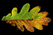 oak leaf (Quercus robber) in autumn colours (Solvin Zankl)
