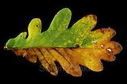 oak leaf (Quercus robber) in autumn colours (Solvin Zankl)