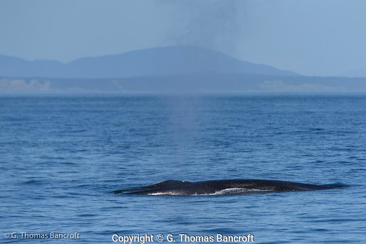 Fin Whale releases a breadth of air as it surfaces before breathing deeply to make another dive. (G. Thomas Bancroft)