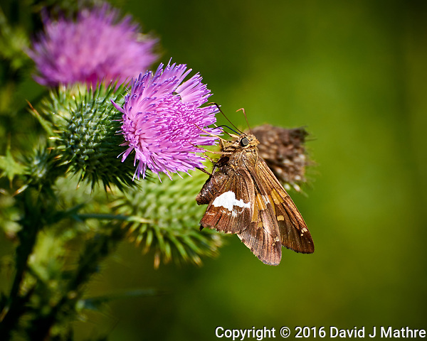 Silver-spotted Skipper Butterfly on a Thistle Flower at the Sourland Mountain Preserve. Summer Nature in New Jersey. Image taken with a Nikon 1 V3 camera and 70-300 mm VR lens (David J Mathre)