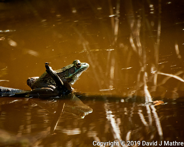 Kermit the Bullfrog. Image taken with a Nikon 1 V3 camera and 70-300 mm VR lens (DAVID J MATHRE)