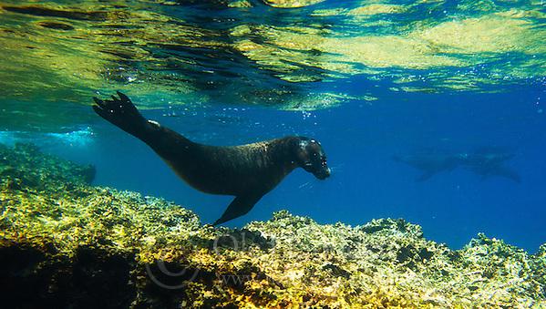 Galápagos sea lion (Zalophus wollebaeki) (Ole Jørgen Liodden)