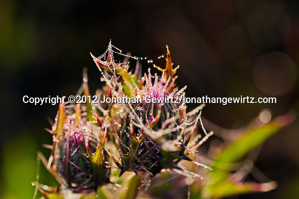A closed thistle flower covered in morning dew drops in the Florida Everglades. (© 2012 Jonathan Gewirtz / jonathan@gewirtz.net)