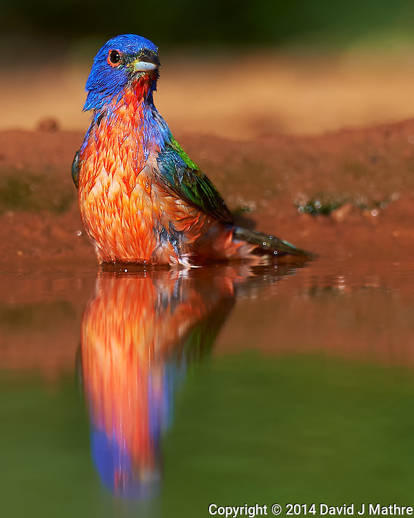 Male Painted Bunting Having a Bird Bath at Campos Viejos Ranch in Southern Texas. Image taken with a Nikon D4 camera and 600 mm f/4 VR lens (ISO 450, 600 mm, f/5.6, 1/2500 sec). (David J Mathre)