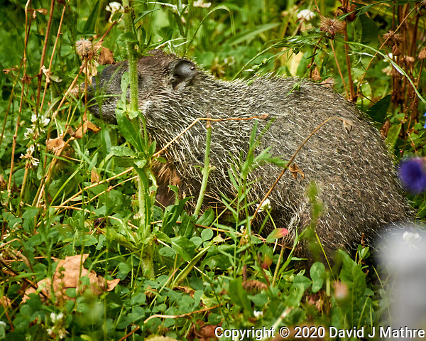 Groundhog (notice the tick in its ear). Image taken with a Nikon N1V3 camera and 70-300 mm VR lens (ISO 800, 300  mm, f/5.6, 1/50 sec). (David J Mathre)