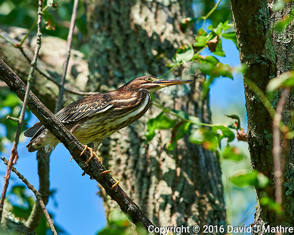 Immature Green Heron (originally thought it was an American Bittern). Image taken with a Nikon D810a camera and 300 mm f/4 lens (ISO 200, 300 mm, f/5.6, 1/400 sec). (David J Mathre)