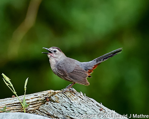 Grey Catbird Singing. Backyard Summer Nature in New Jersey. Image taken with a Nikon D4 and 80-400 mm VRII lens (ISO 1600, 400 mm, f/5.6, 1/40 sec). (David J Mathre)