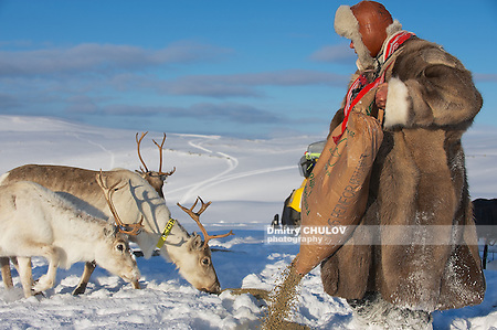 TROMSO, NORWAY - MARCH 28, 2011: Unidentified Saami man brings food to reindeers in deep snow winter, Tromso region, Northern Norway. (Dmitry Chulov)