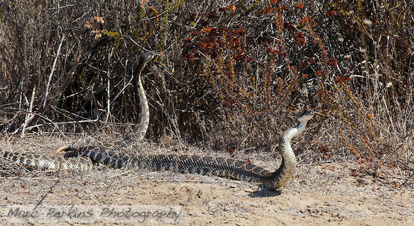 Shortly after the amazingly-fast coiling seen in my prior images, the two snakes separated.  One slithered off into the brush, while the other started paying just a bit too much attention to me and my colleagues for my tastes.  So, we decided to part ways amicably; I even got a nice rattle as the snake slithered away. (Marc C. Perkins)