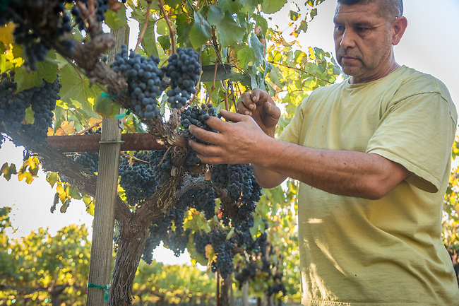 Danial prepares to hand harvest the last of the grapes at Marcey's Vineyard in Calistoga (Clark James Mishler)