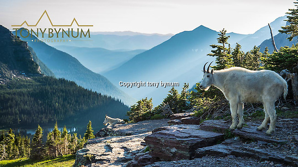 two mountain goats, billy on cliff (Tony Bynum/tonybynum.com)