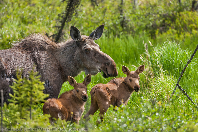 Moose photos: Cow moose and twin calves feed on spring grasses, Arctic, Alaska. (Patrick J Endres / AlaskaPhotoGraphics.com)