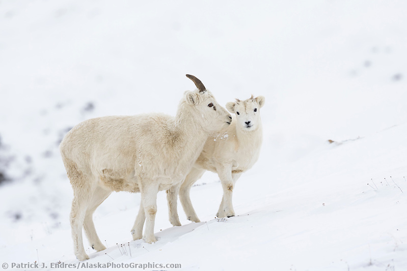 Dall sheep photos: Dall sheep ewes and lambs forage for food in the snow in atigun pass, Brooks Range, Alaska (Patrick J. Endres / AlaskaPhotoGraphics.com)