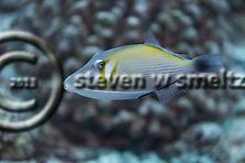 Lei Triggerfish, Sufflamen bursa, (Bloch & Schneider, 1801), Maui Hawaii (Steven W SMeltzer)