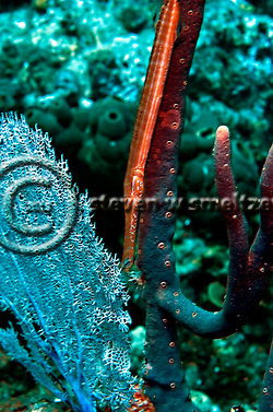 Trumpetfish, Aulostomus maculatus, Grand Cayman (Steven Smeltzer)