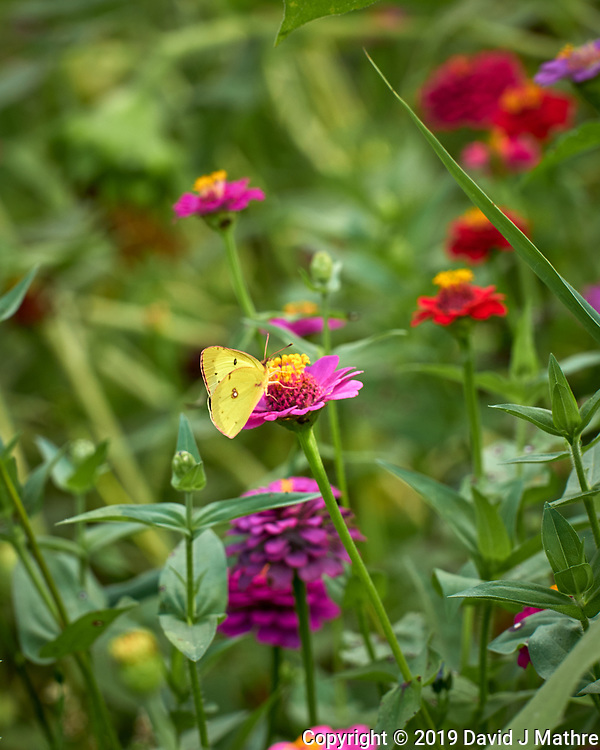 Sulphur Butterfly on a Zinnia Flower. Image taken with a Leica CL camera and 55-135 mm lens (DAVID J MATHRE)