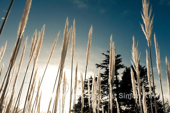 Pampas Grass, Hillside  - Photo By Simon Kirwan