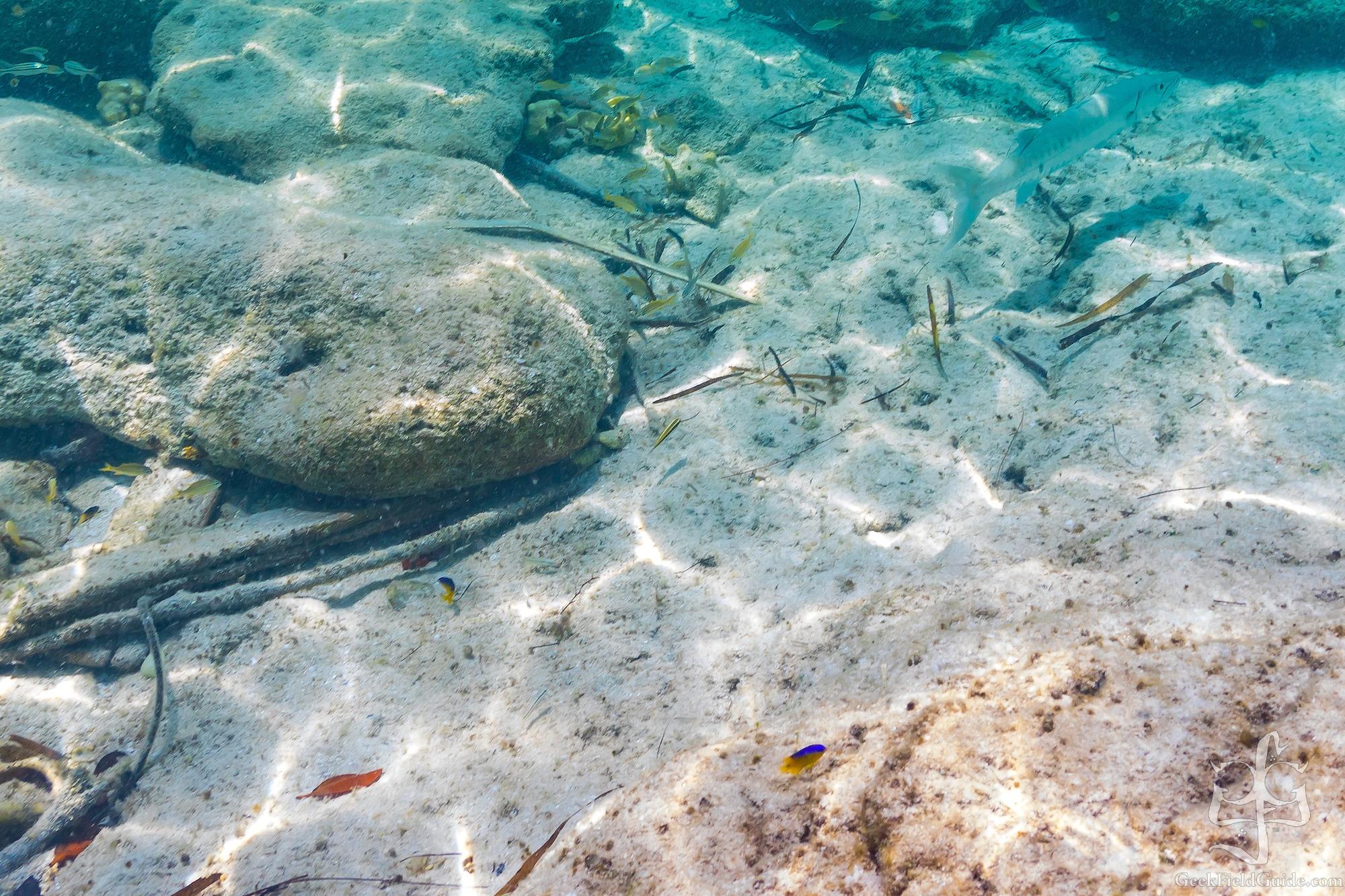 Spanish Hogfish and Barracuda. (Warren Schultz)