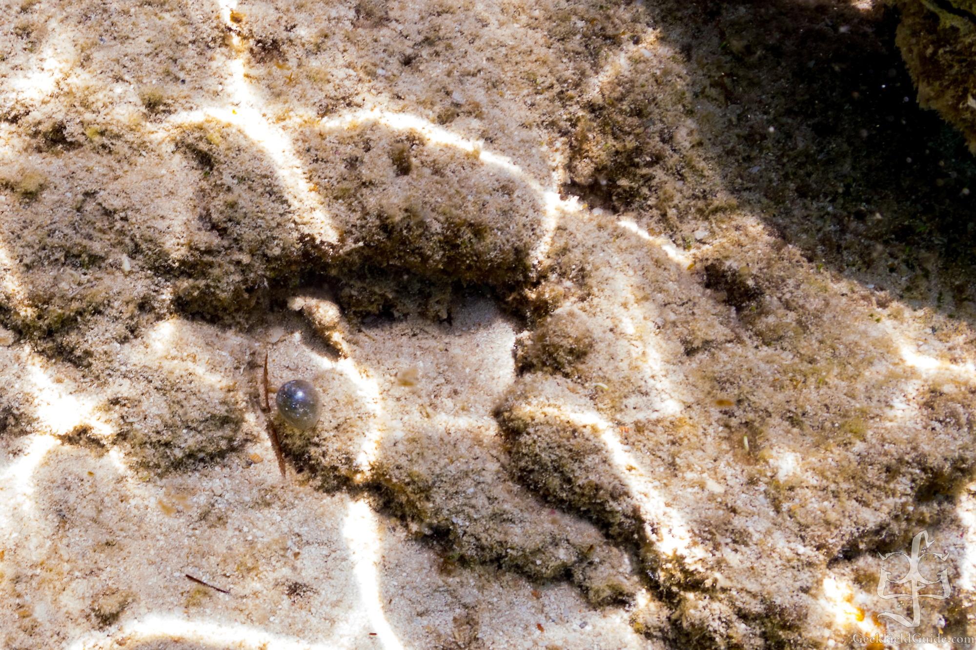 Juvenile pufferfish. (Currently puffed) (Warren Schultz)