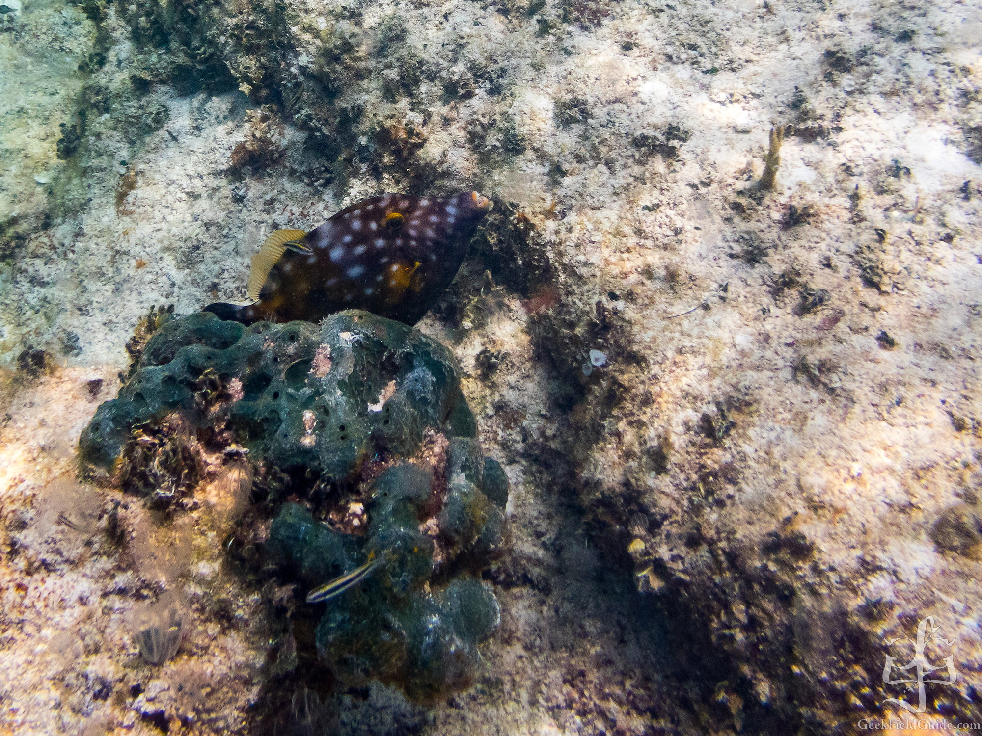 Smooth trunkfish? (Margaret Coin)