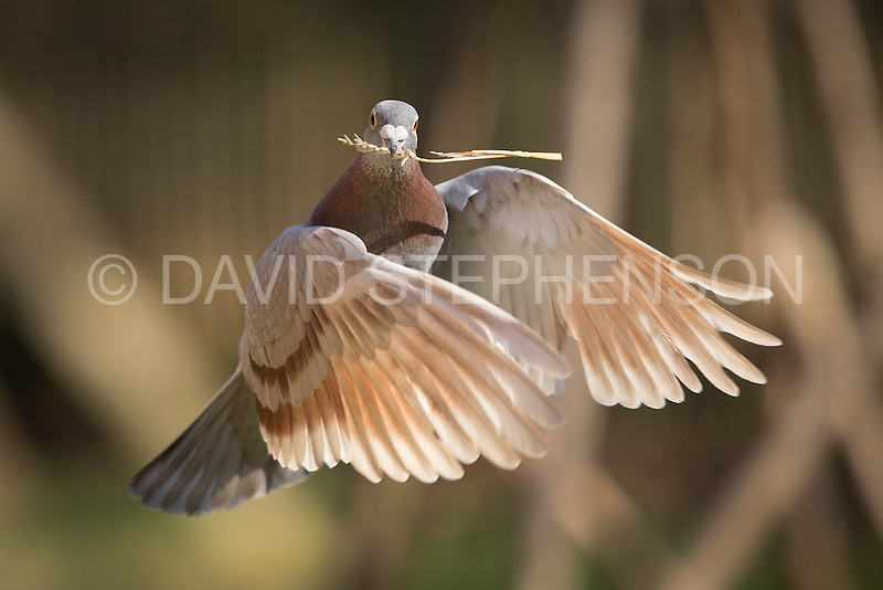 Homing Pigeon Collection | DavidStephenson