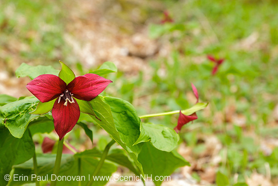Red Trillium during the spring months along a hiking path at Rumney Rocks in Rumney, New Hampshire.