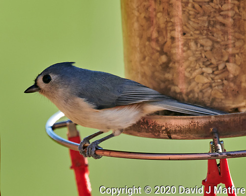 Tufted Titmouse. (David J Mathre)