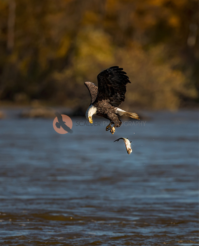Adult Bald Eagle dropping a fish mid air into the water (SandraCalderbank, sandra calderbank)
