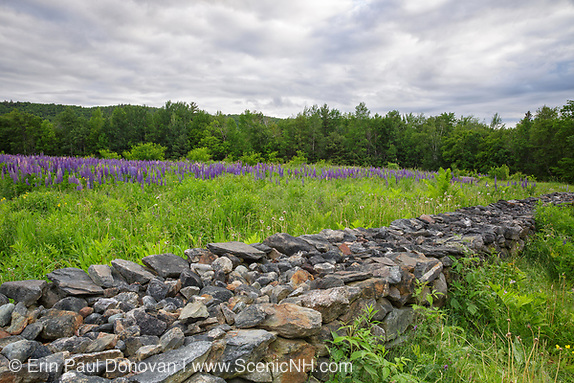 Lupine fields in Sugar Hill, New Hampshire USA during the spring months during the Annual Celebration of Lupines Festival.