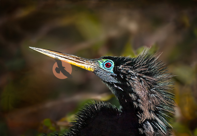Profile of Male Anhinga head and neck in breeding colors (sandra calderbank)