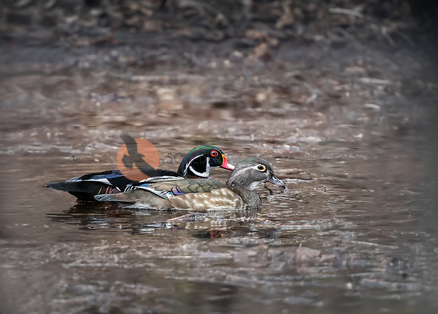A pair of Wood Ducks swimming in natural habitat side by side (SANDRA CALDERBANK, sandra calderbank)