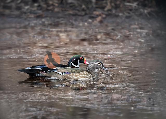 A pair of Wood Ducks swimming in natural habitat side by side (SANDRA CALDERBANK, sandra calderbank)