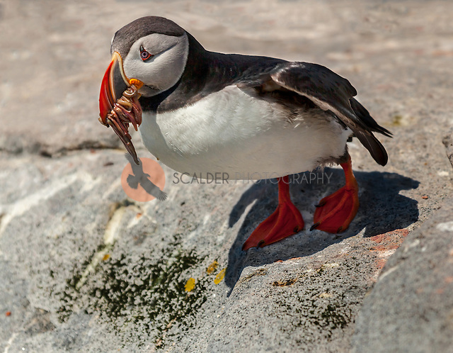 Atlantic Puffin perched on rock after flying in from ocean to feed young with a mouthful of crustaceans and fish (sandra calderbank)