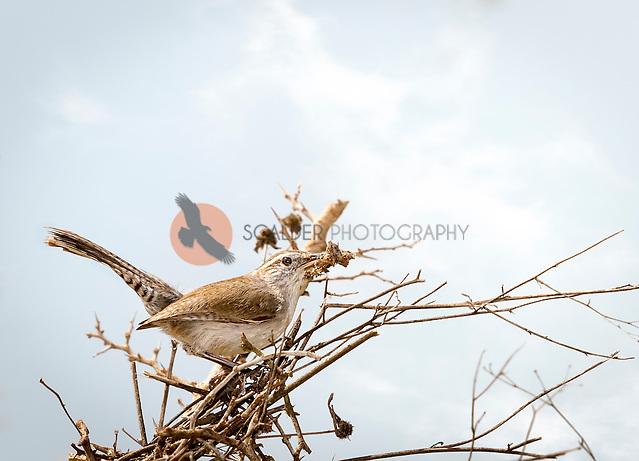 Bewick's Wren gathering nesting material (sandra calderbank)