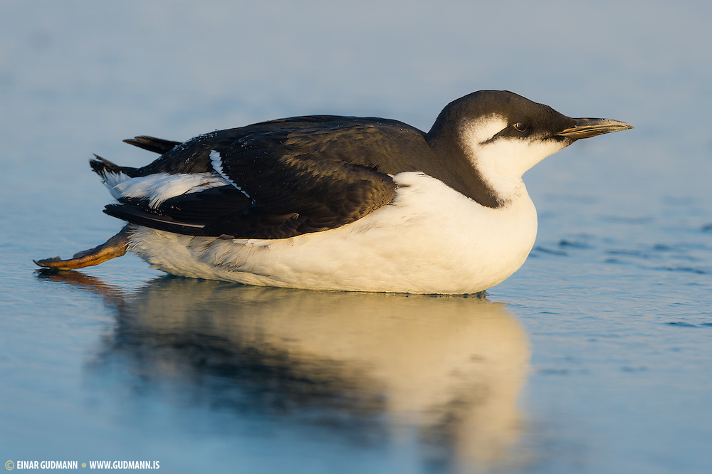 The Common Murre or Common Guillemot (Uria aalge) is a large auk. It is also known as the Thin-billed Murre in North America. (Einar Gudmann)